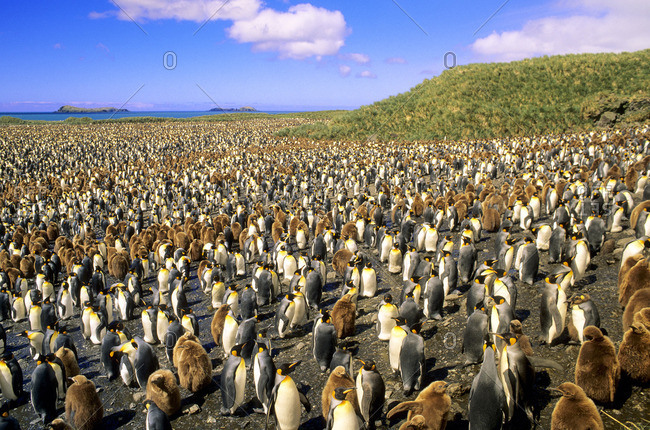 Adult king penguins (Aptenodytes patagonicus) and chicks, Salisbury Plains, South Georgia Island, southern Atlantic Ocean