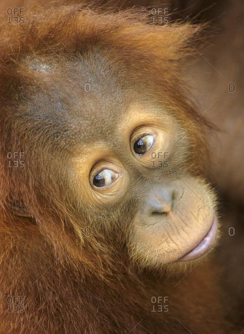 Juvenile orangutan (Pongo pygmaeus)