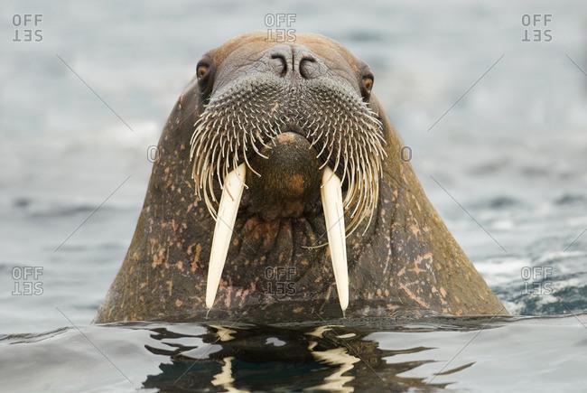 Atlantic walrus (Odobenus rosmarus), Svalbard Archipelago, Arctic Norway