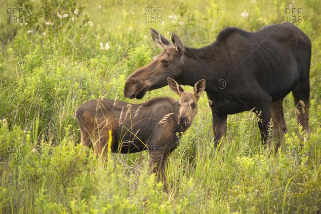 Moose and calf (Alces alces), Algonquin Park