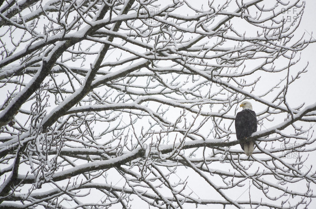 Bald Eagle, Haliaeetus leucocephalus, perched on a tree branch covered with snow during a snow storm in British Columbia, Canada