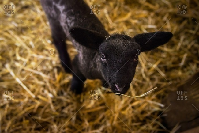 Elevated view of black lamb with hay stuck on its mouth