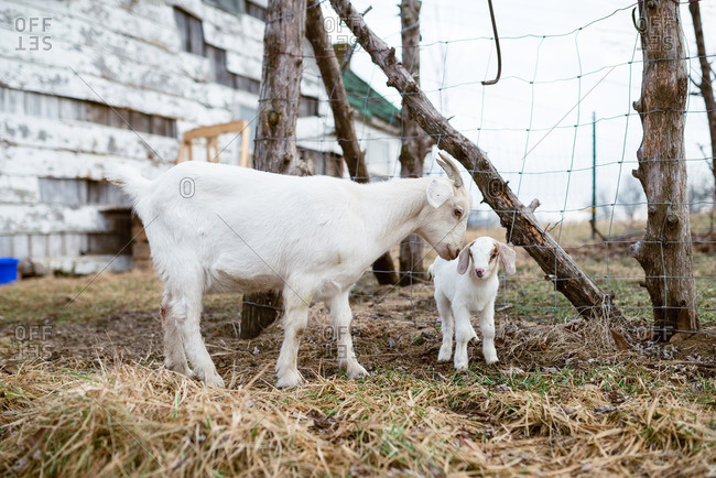 Mother and baby goat in a pasture near a rustic barn