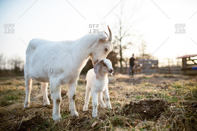Mother goat nuzzling her baby in a pasture
