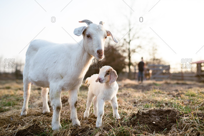 Mother and baby goat standing in a pasture