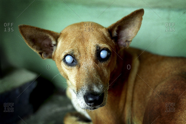 Blind dog in Lorica, Colombia
