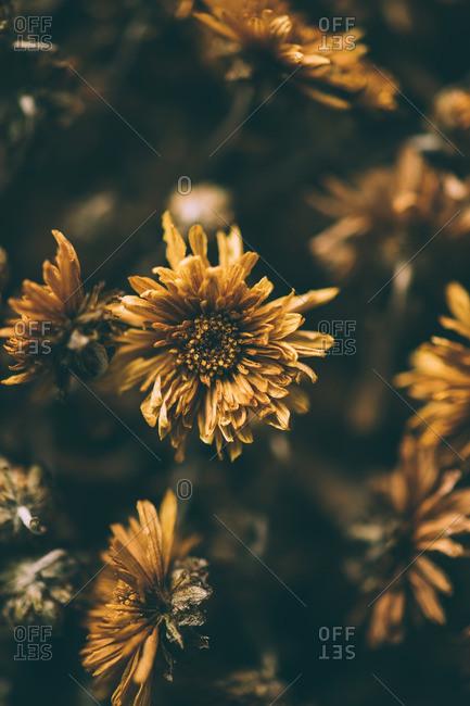 Close-up of chrysanthemum flowers