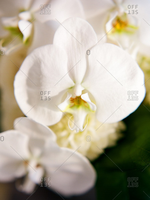 Close-up of a white orchid flower