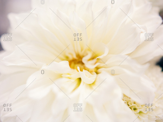 Close-up of a white flower with layers of petals