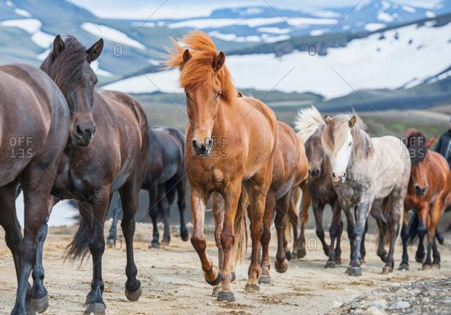 Icelandic horses in the Fjallabak area of the Icelandic highlands