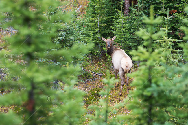 Single female elk looks over her shoulder in green supalpine forest