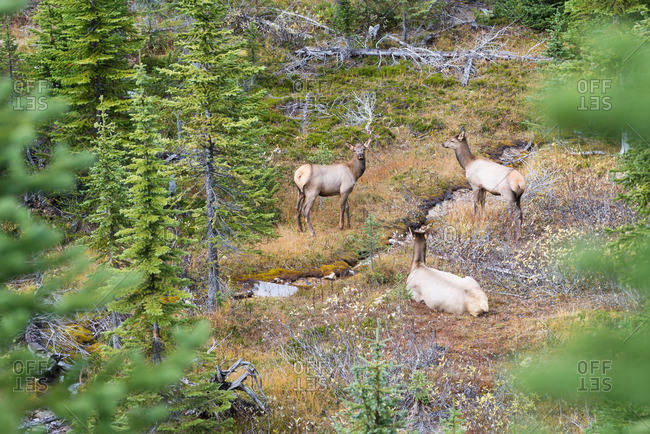 Female elk rest in forest meadow during rutting season
