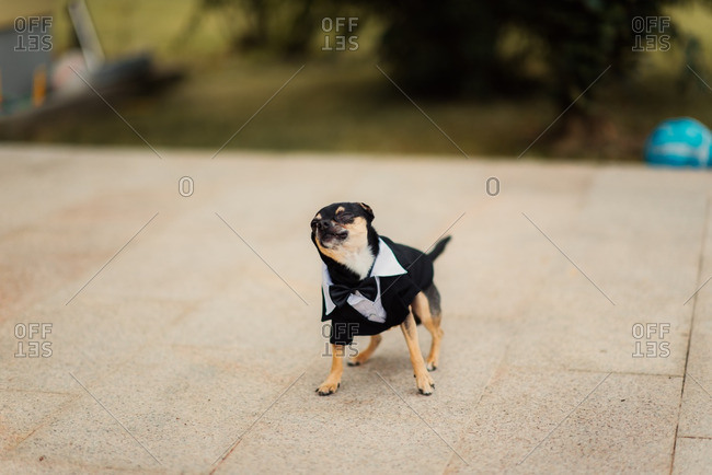 Dog dressed in tuxedo outfit