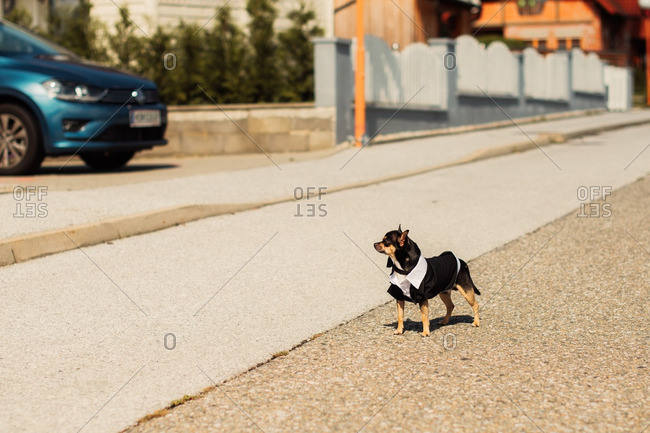 teacup chihuahua stock photos - OFFSET
