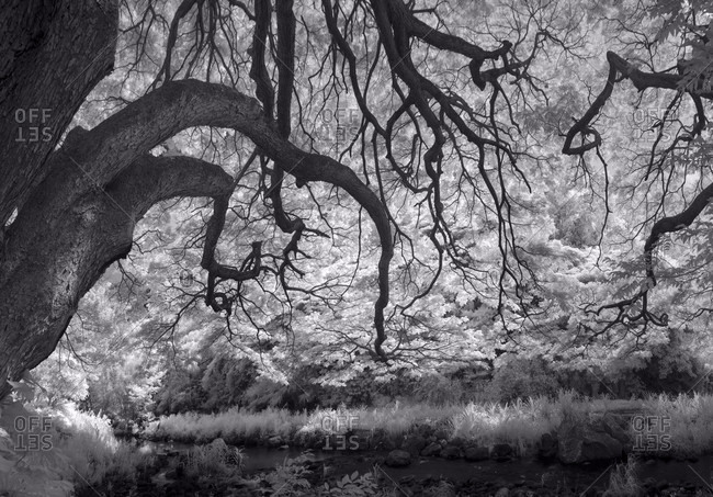 A slightly creepy looking scene at waimea valley with the monkey pods captured in infrared