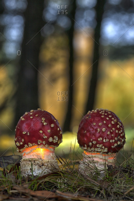 Close-up of fly agaric mushroom growing in forest