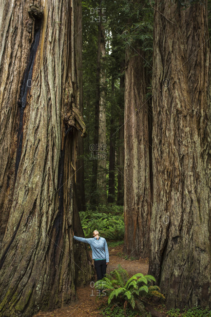 A women leans against a giant redwood tree and looks up into a grove of old-growth trees, redwood national park