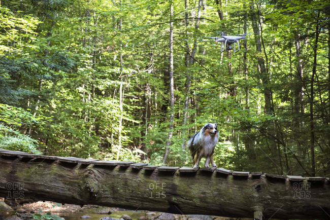 Drone and dog near a bridge in the woods