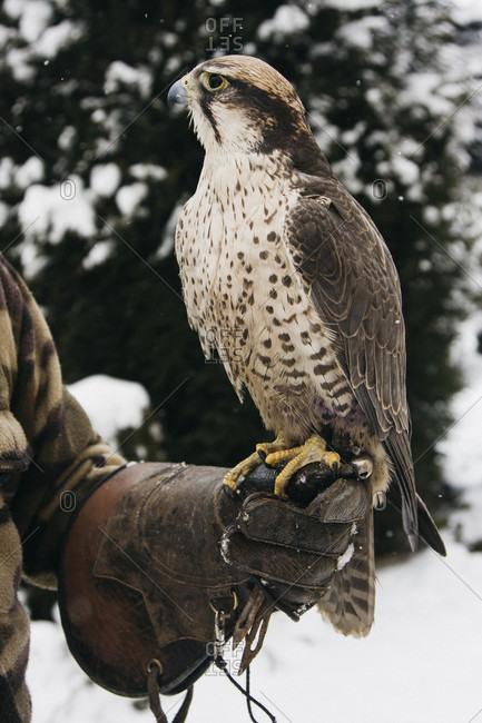 Falcon balancing on the hand of falconer