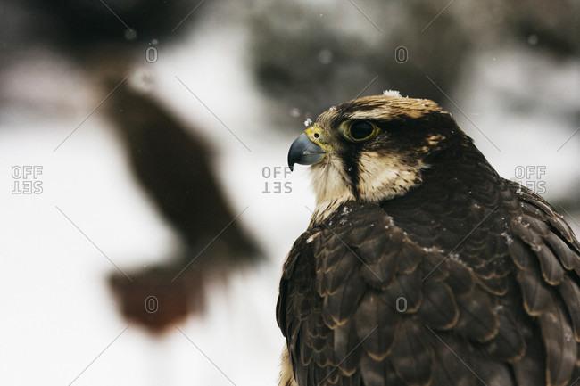 Portrait of a falcon against a snowy backdrop