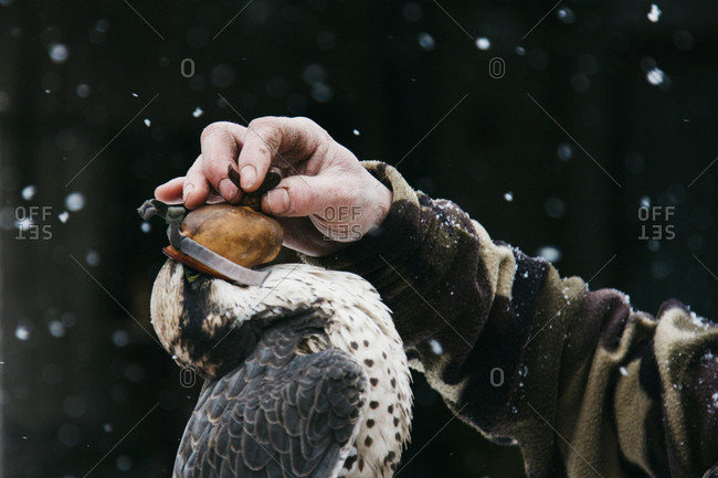 Close-up of a falconer put a hood on his falcon