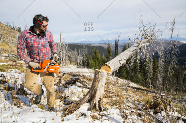 Man cutting down a tree trunk of dead tree for camping in Montana, usa