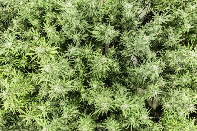 High angle view of large marijuana plantation in Washington state