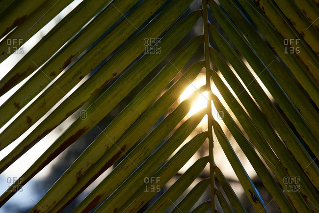 Sunrise shining trough palm leaves.