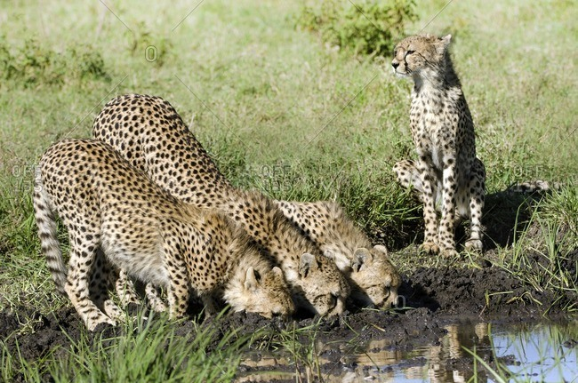 Three cheetah cubs and mother