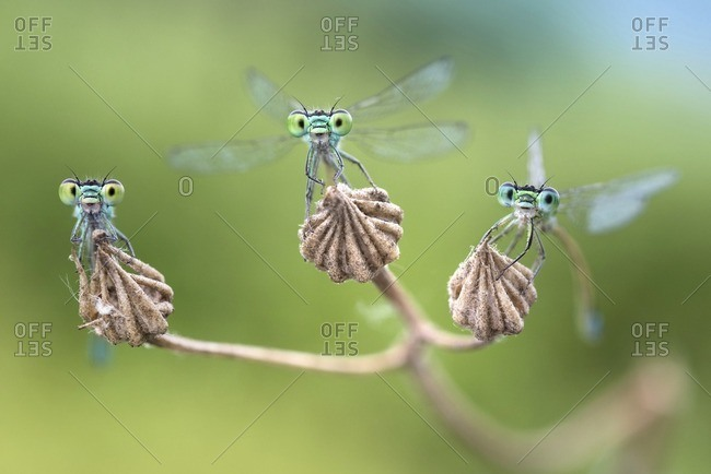 Three damselflies on a dry flower