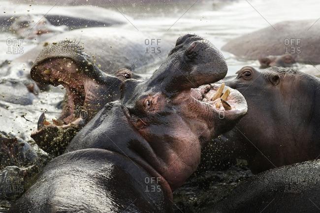 Two hippopotamuses fighting