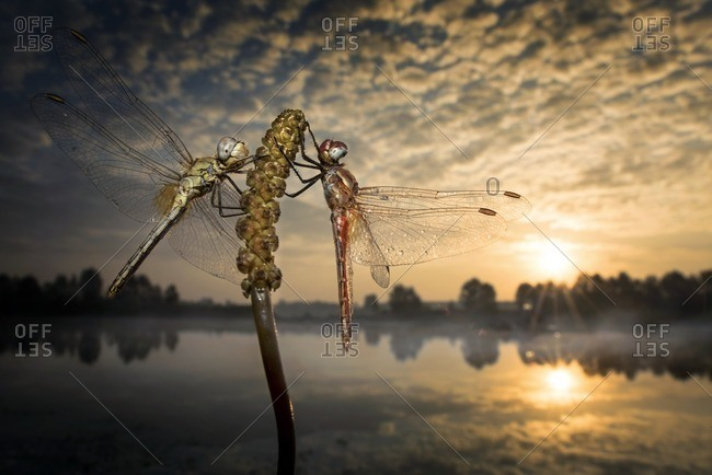 Two dragonflies on plant