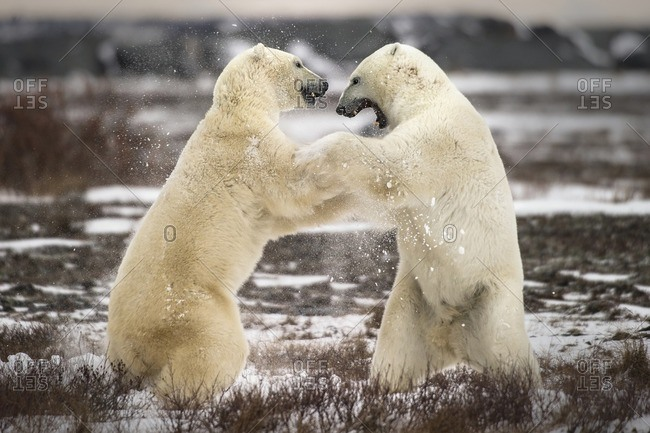 Two polar bears fighting