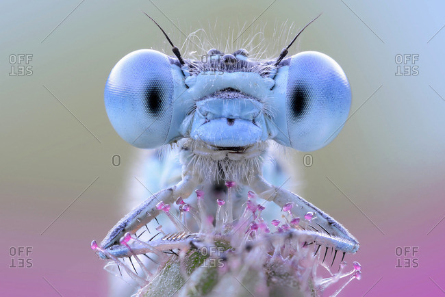 Damselfly with blue eyes