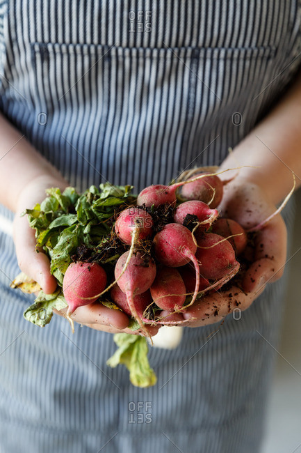 Radishes in hands portrait blue apron