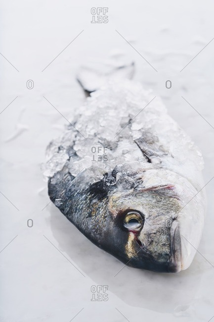 A fish covered with ice