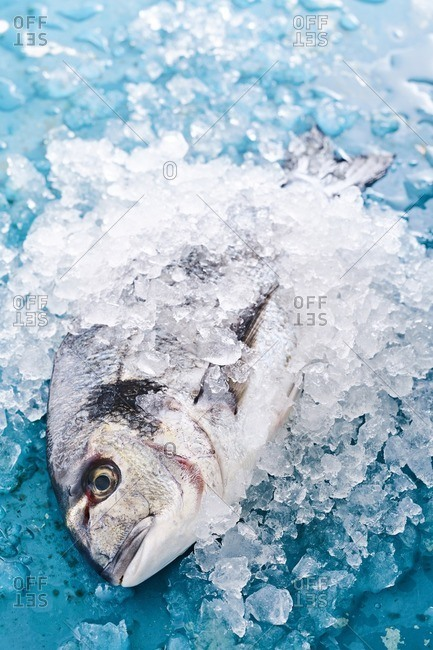 Whole fish in ice on blue background