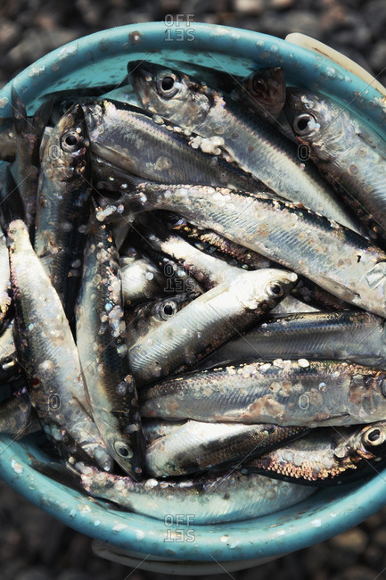 Bucket of herrings