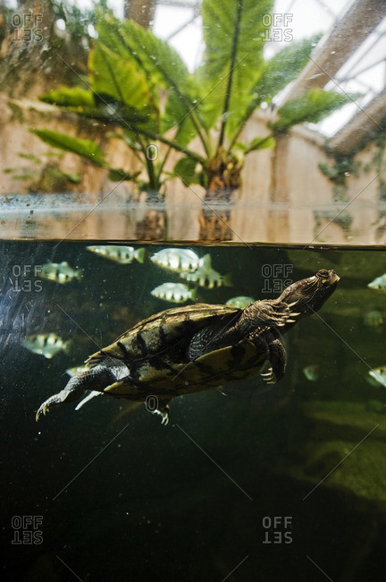 Turtle and fishes in fish tank