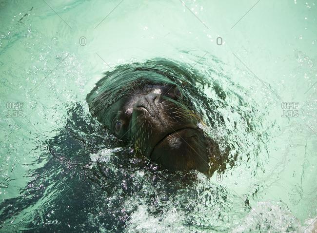 Fur seal in water, close-up