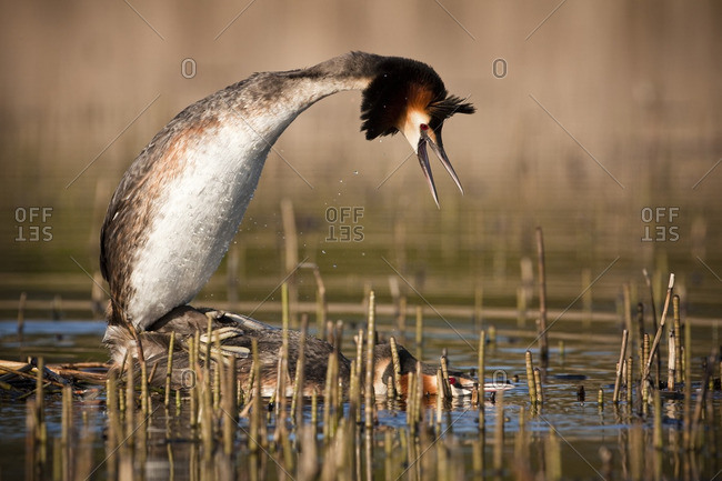 Great crested grebe mating in pond