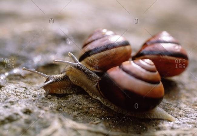 Three snails on stone