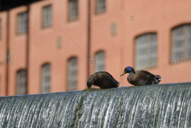Two ducks drinking water from waterfall