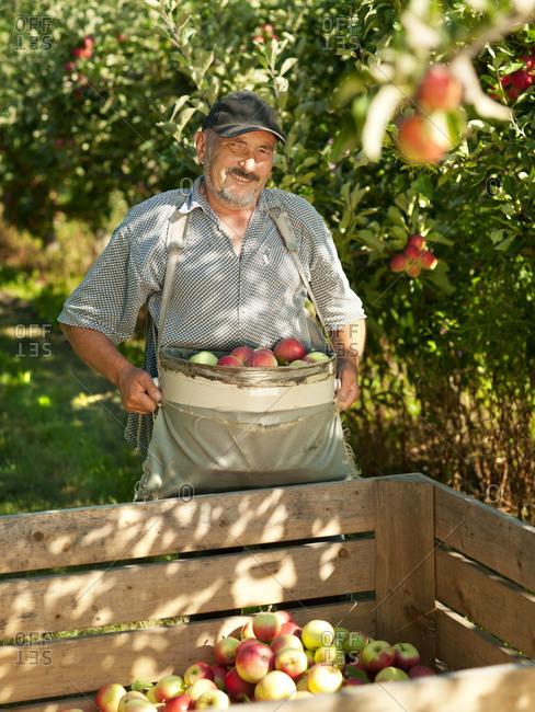 Farmer in apple orchard