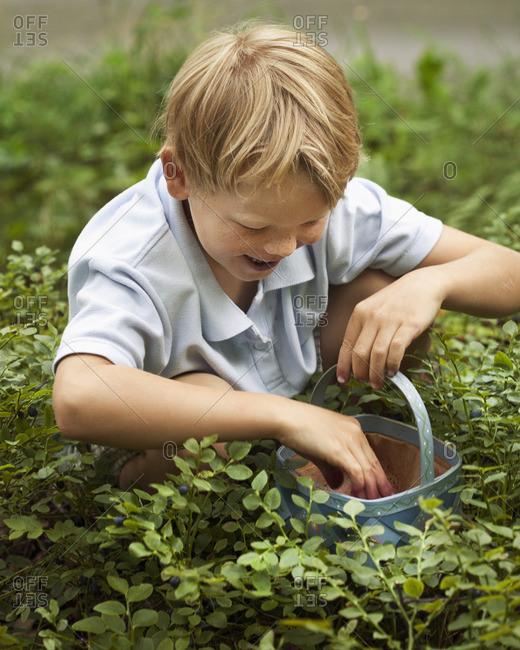 Boy picking blueberries in basket