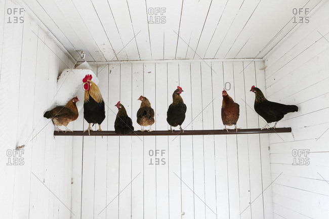 Rooster and hens standing on stick
