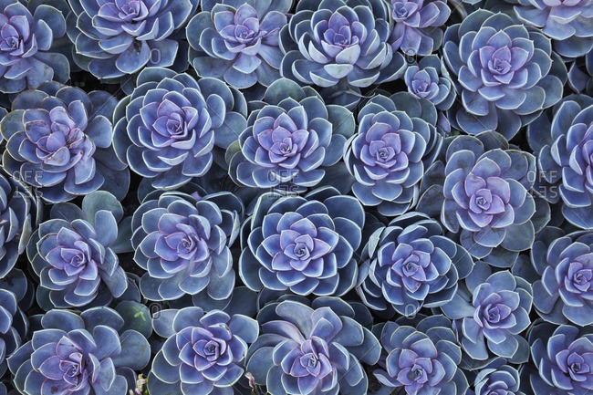 Close-up of Crassulaceae plants