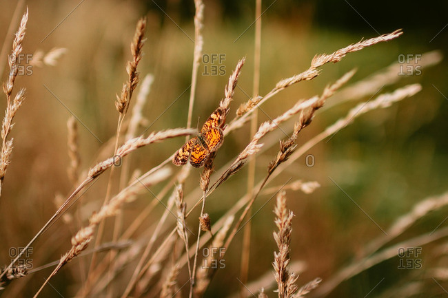Butterfly resting on a tall stalk of grass