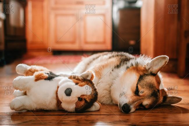 Corgi dog napping next to a stuffed dog on a floor
