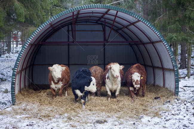 Cows in shelter at winter